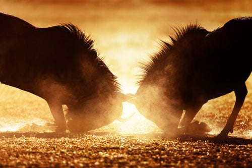 Anger management online course - Two angry wildebeest duel in dust